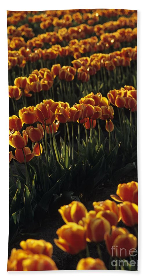 Travel Hand Towel featuring the photograph Rows Of Orange Tulips In Field Mount Vernon Washington State Usa by Jim Corwin
