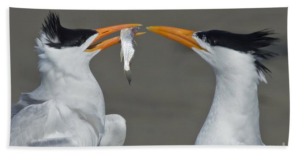 Royal Tern Hand Towel featuring the photograph Royal Terns by Anthony Mercieca