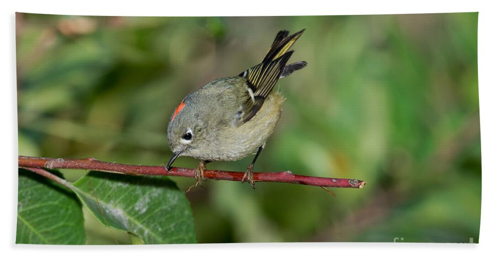 Bird Hand Towel featuring the photograph Ruby-crowned Kinglet Showing Crown by Anthony Mercieca