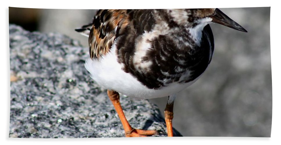 Bird Hand Towel featuring the photograph Ruddy Makes For The Rocks by Patricia Twardzik