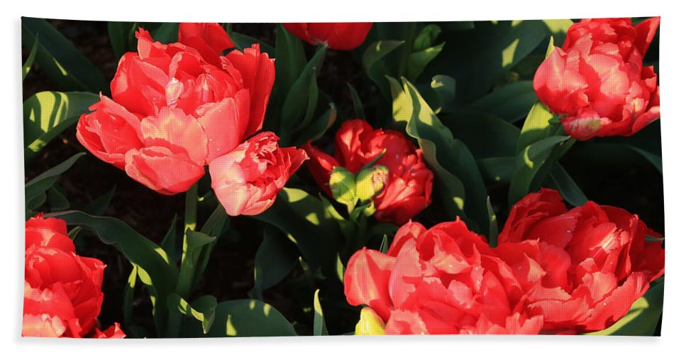 Red Tulips Hand Towel featuring the photograph Ruffly Red Tulips Square by Carol Groenen