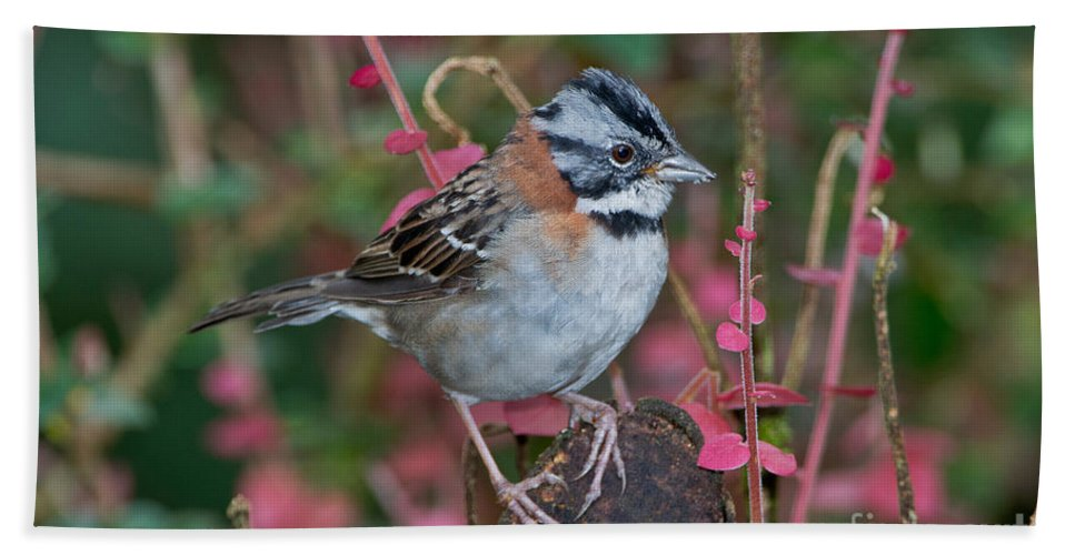 Rufous-collared Sparrow Hand Towel featuring the photograph Rufous-collared Sparrow by Anthony Mercieca