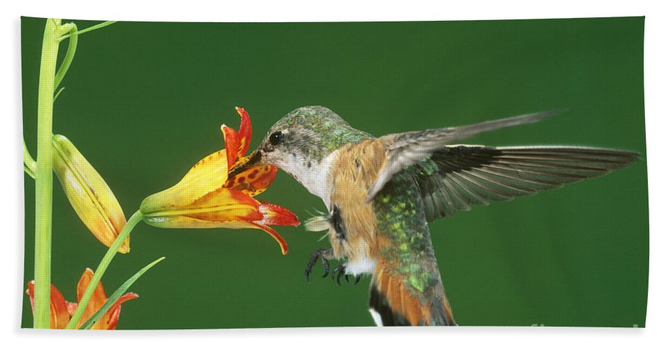 Fauna Hand Towel featuring the photograph Rufous Hummingbird At Tiger Lily by Anthony Mercieca