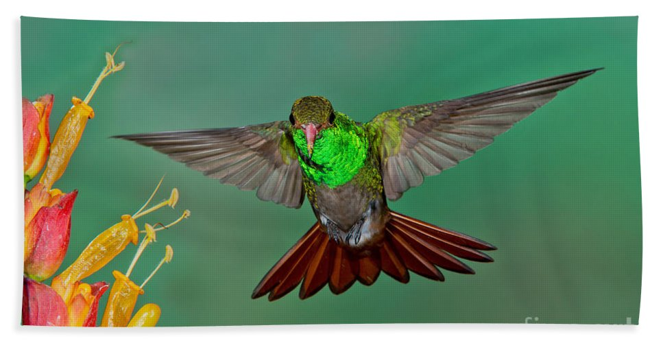 Rufous-tailed Hummingbird Hand Towel featuring the photograph Rufous-tailed Hummer by Anthony Mercieca