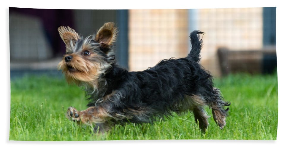 Yorkshire Terrier Bath Sheet featuring the photograph Running Puppy by Andrew Michael