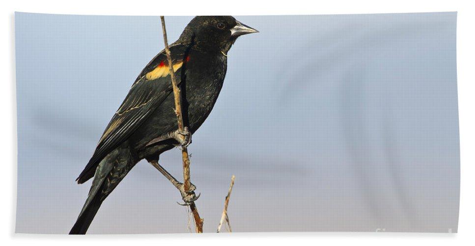 Red Wing Black Bird Bath Sheet featuring the photograph Rwbb On Stick by Bryan Keil