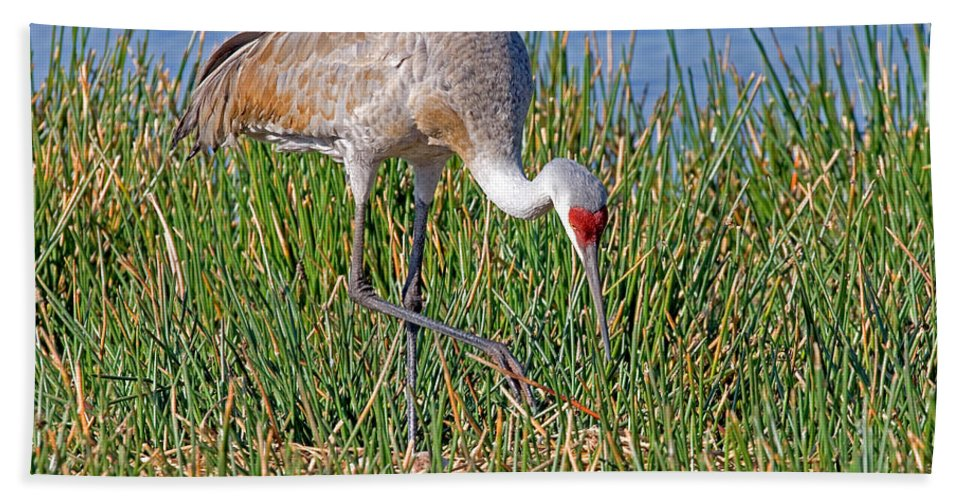 Fauna Hand Towel featuring the photograph Sandhill Crane by Anthony Mercieca
