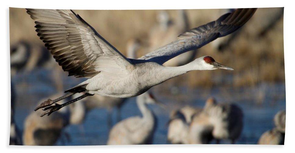 Animal Bath Sheet featuring the photograph Sandhill Crane Lift Off by Sabrina L Ryan