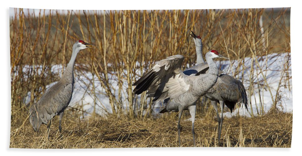 Doug Lloyd Bath Sheet featuring the photograph Sandhill Cranes by Doug Lloyd