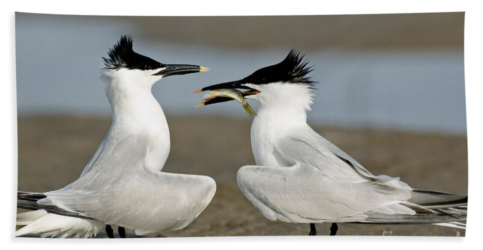 Animal Hand Towel featuring the photograph Sandwich Tern Offering Fish by Anthony Mercieca