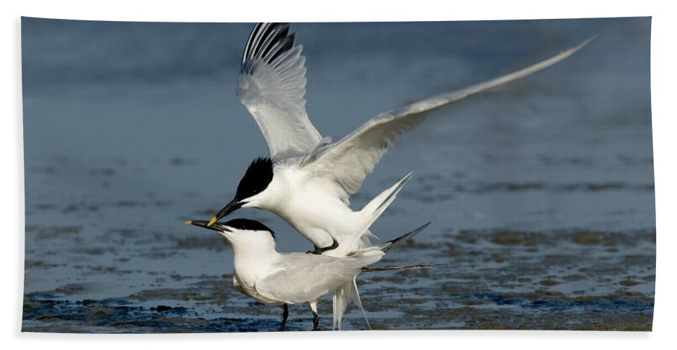 Animal Hand Towel featuring the photograph Sandwich Terns Mating by Anthony Mercieca