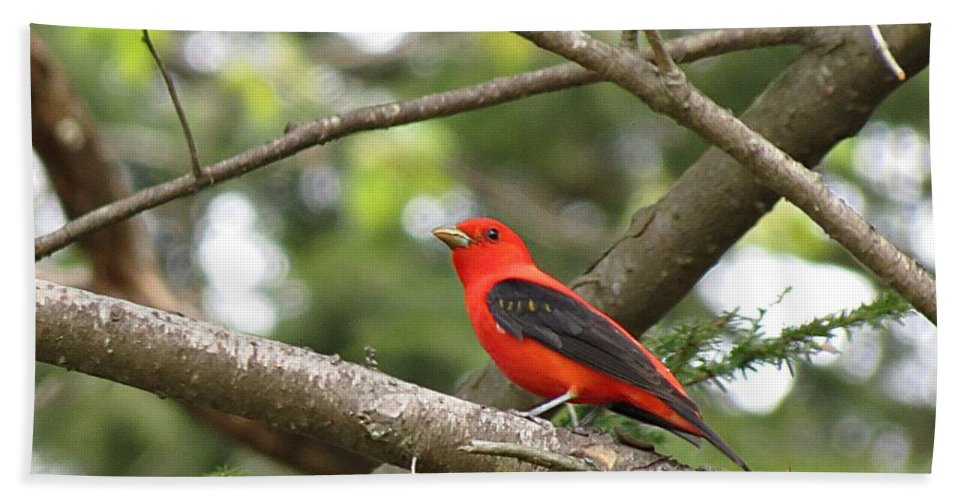 Scarlet Tanager Hand Towel featuring the photograph Scarlet Tanager by MTBobbins Photography