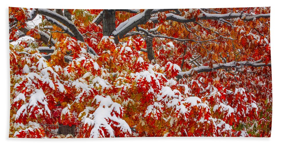 Tree In Autumn With Snow Outlining Branches Hand Towel featuring the photograph Seasons Of Change by Bill Sherrell