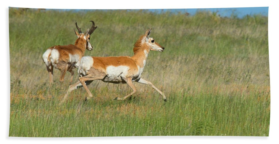 Pronghorn Antelope Hand Towel featuring the photograph Separate Ways by Jim Garrison