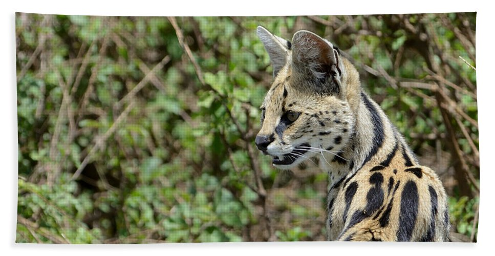 Serval Hand Towel featuring the photograph Serval Cat by Ian Ashbaugh