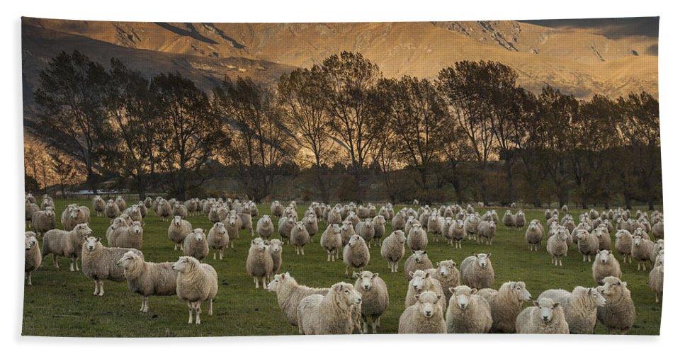 colin Monteath Hedgehog House Bath Towel featuring the photograph Sheep Flock At Dawn Arrowtown Otago New by Colin Monteath, Hedgehog House