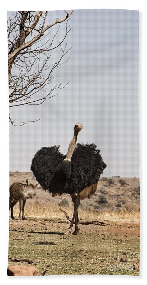 Ostrich Bath Sheet featuring the photograph Show-off V6 by Douglas Barnard