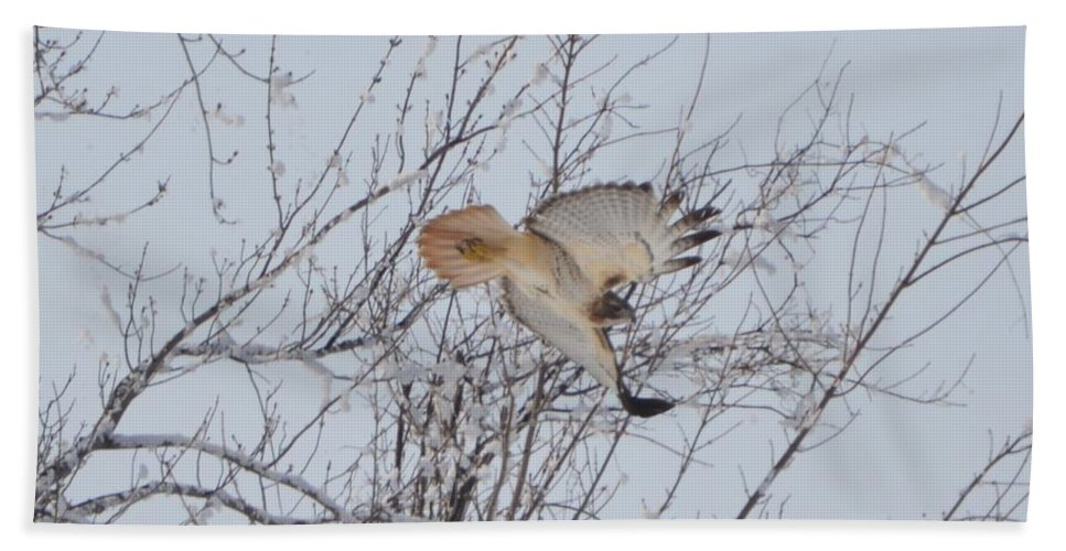 Red Tail Hawk Hand Towel featuring the photograph Showing Off by Bonfire Photography