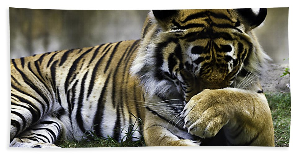 Tigers Hand Towel featuring the photograph Shy by Ken Frischkorn