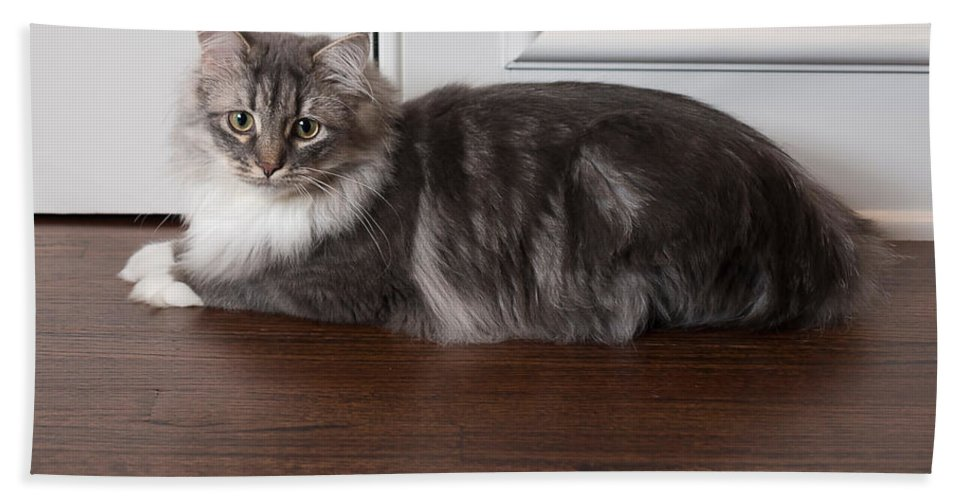 Siberian Bath Sheet featuring the photograph Siberian Forest Cat by Louise Heusinkveld
