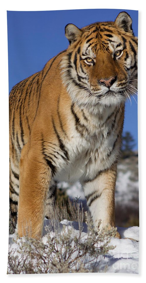 Siberian Tiger Bath Sheet featuring the photograph Siberian Tiger No. 1 by Jerry Fornarotto