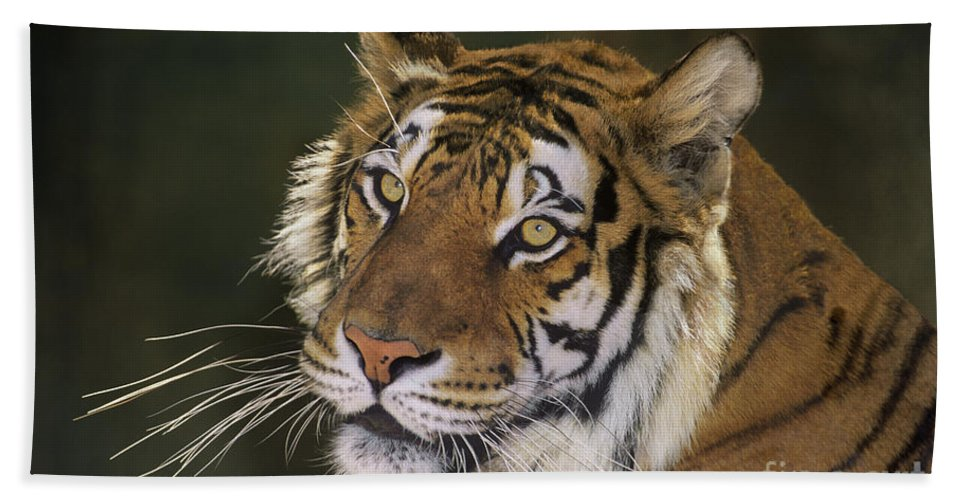 Siberian Tiger Bath Towel featuring the photograph Siberian Tiger Portrait Endangered Species Wildlife Rescue by Dave Welling