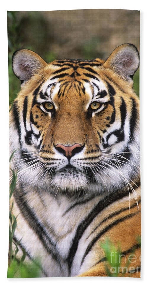 Siberian Tiger Hand Towel featuring the photograph Siberian Tiger Staring Endangered Species Wildlife Rescue by Dave Welling