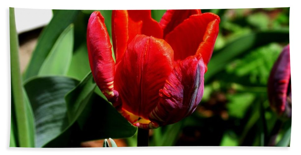 Sign Spring Flower Tulip Red Art Photography Garden Nature Hand Towel featuring the photograph Sign Of Spring by Galina Khlupina