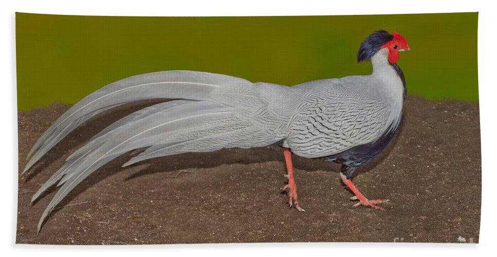 Animal Hand Towel featuring the photograph Silver Pheasant In Strutting Pose by Anthony Mercieca
