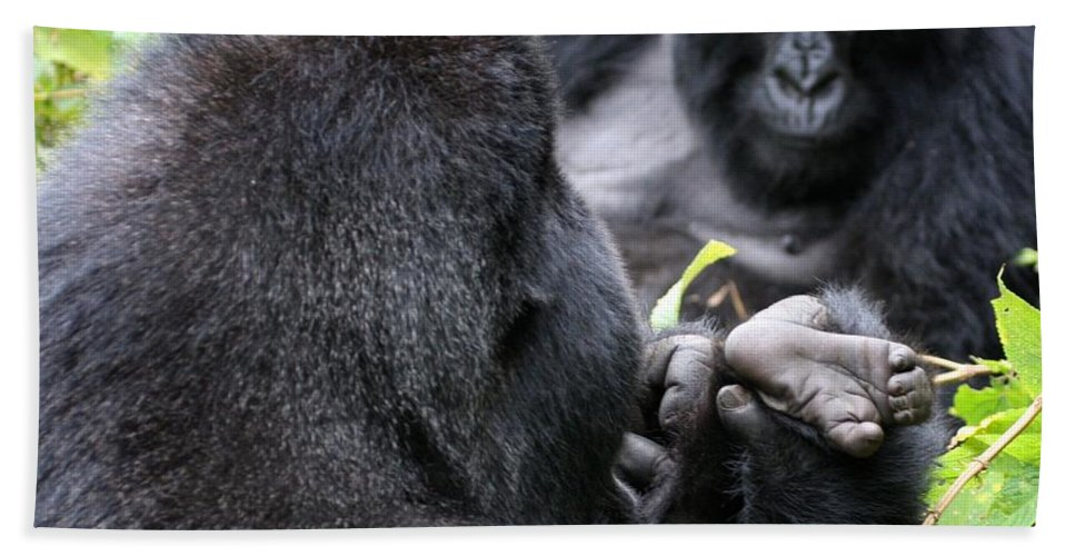 Mountain Gorilla Hand Towel featuring the photograph Silverback Grooming 1 by David Beebe