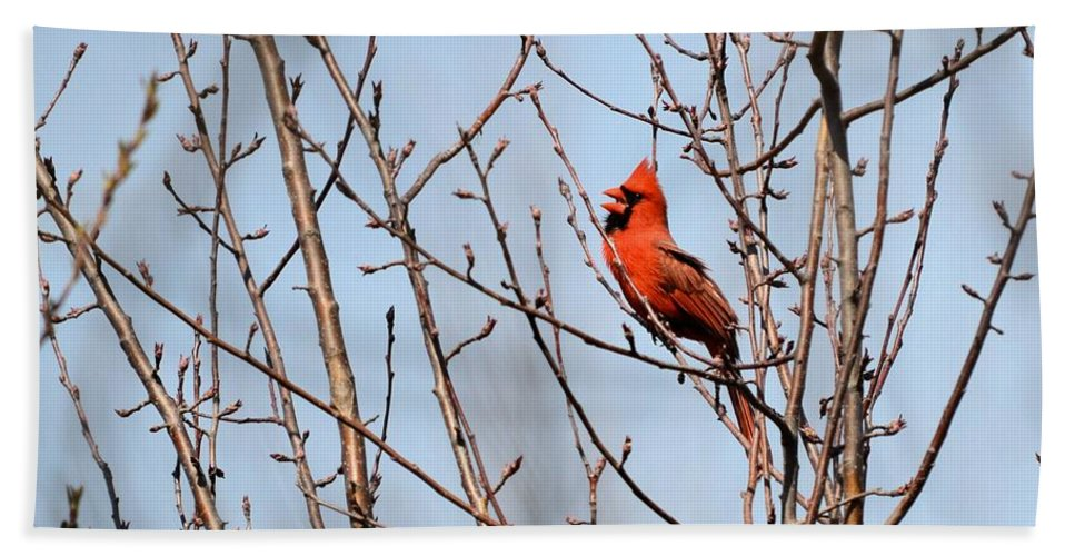 Cardinal Bath Towel featuring the photograph Singing For A Mate by Bonfire Photography