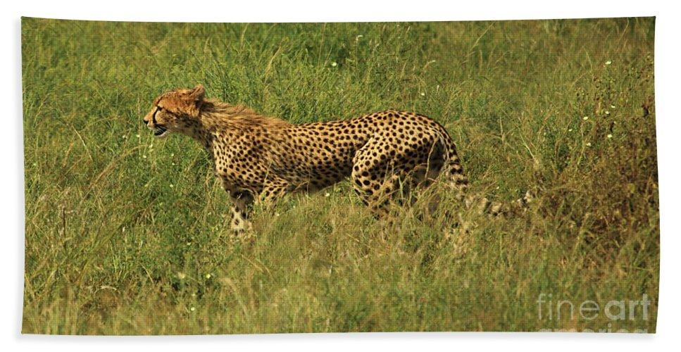 Acinonyx Jubatus Bath Sheet featuring the photograph Single Cheetah Running Through The Grass by Deborah Benbrook