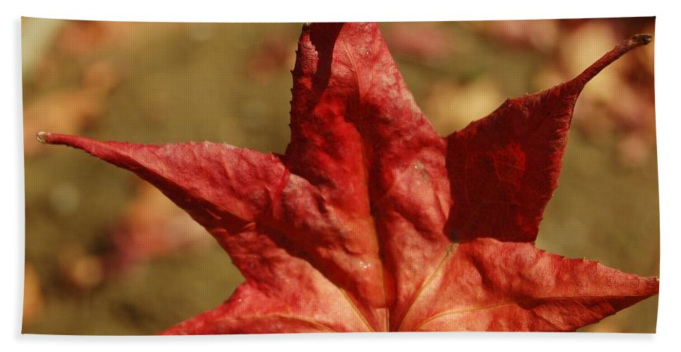 Linda Brody Bath Sheet featuring the photograph Single Red Maple Leaf by Linda Brody