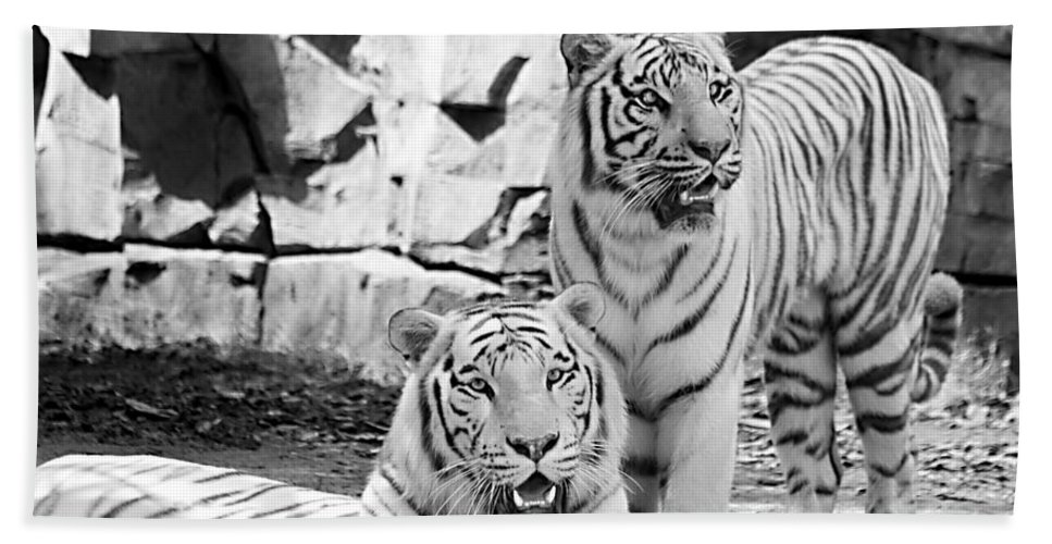 Tigers Hand Towel featuring the photograph Sisters Black And White by Ken Frischkorn