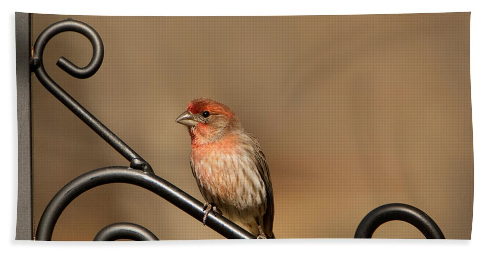Carpodacus Mexicanus Bath Sheet featuring the photograph Sitting Pretty Red House Finch by Kathy Clark