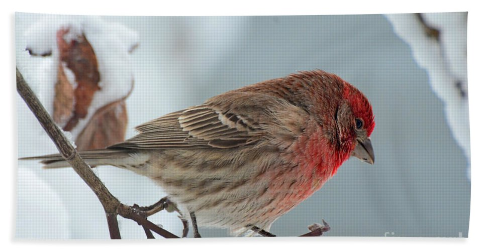 Nature Hand Towel featuring the photograph Snow Day Housefinch by Debbie Portwood