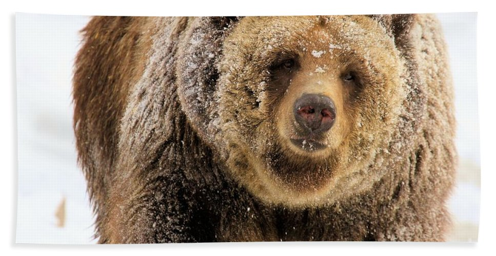 Grizzly Bear Hand Towel featuring the photograph Snow Face by Adam Jewell