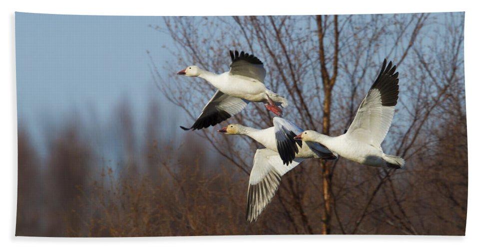 Doug Lloyd Bath Sheet featuring the photograph Snow Geese In Flight by Doug Lloyd