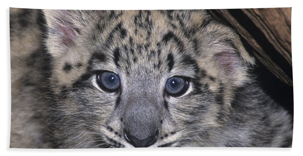 Asia Bath Sheet featuring the photograph Snow Leopard Cub Endangered by Dave Welling