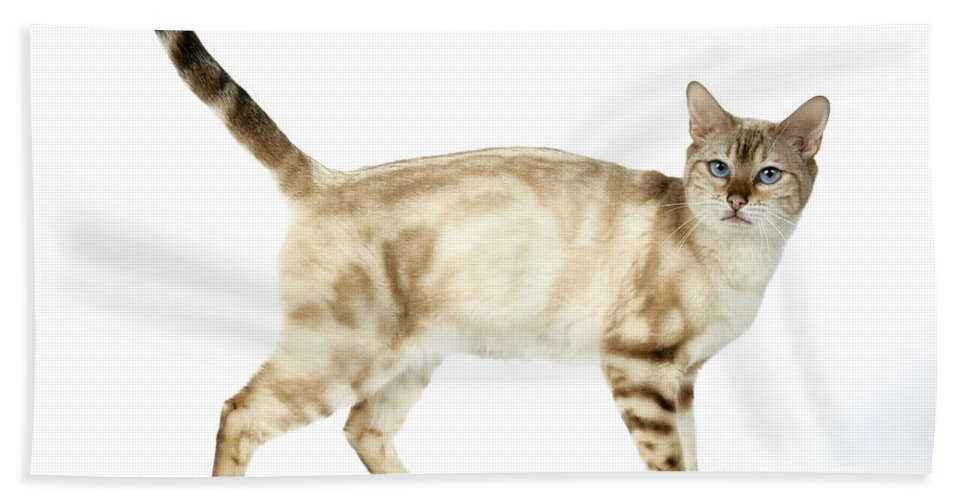 Cat Bath Sheet featuring the photograph Snow Marble Bengal Cat by John Daniels