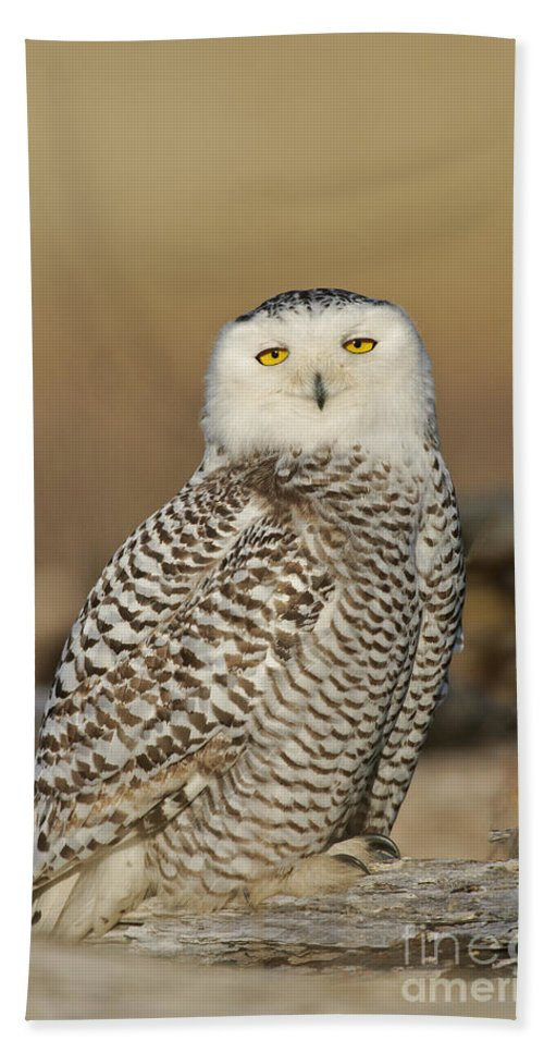 Bird Hand Towel featuring the photograph Snowy Owl Female by Anthony Mercieca