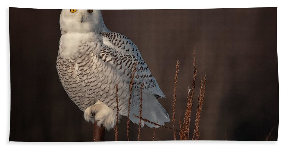 Snowy Owl Bath Sheet featuring the photograph Snowy Owl Pictures 64 by World Wildlife Photography
