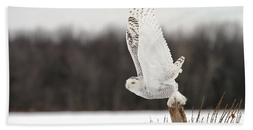 Snowy Owl Bath Sheet featuring the photograph Snowy Owl Pictures 80 by World Wildlife Photography