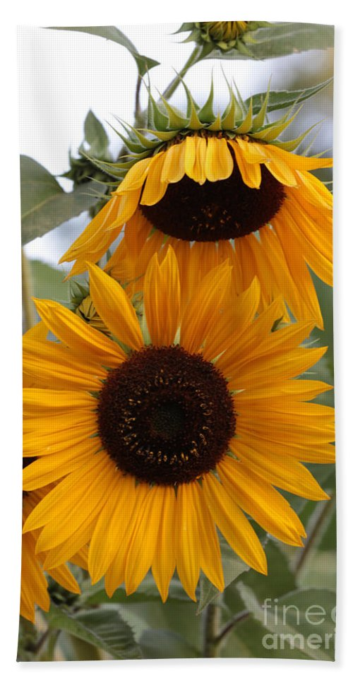 Sunflower Bath Sheet featuring the photograph Soft Colors Sunflowers by Carol Groenen