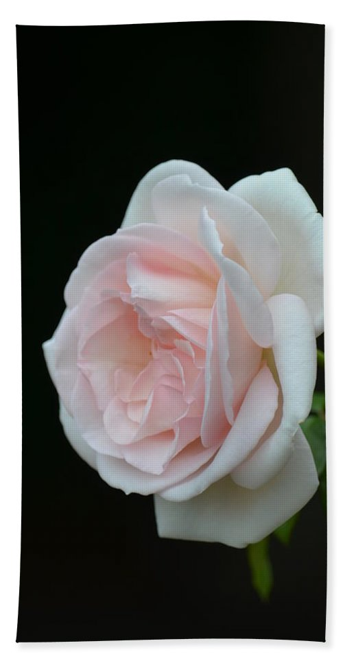 Softly Pink - Rose Bath Sheet featuring the photograph Softly Pink - Rose by Maria Urso