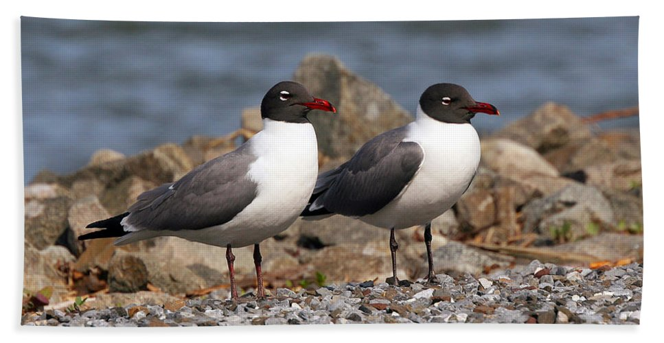Seagulls Hand Towel featuring the photograph Mr. And Mrs. Laughing Gull by Geoff Crego