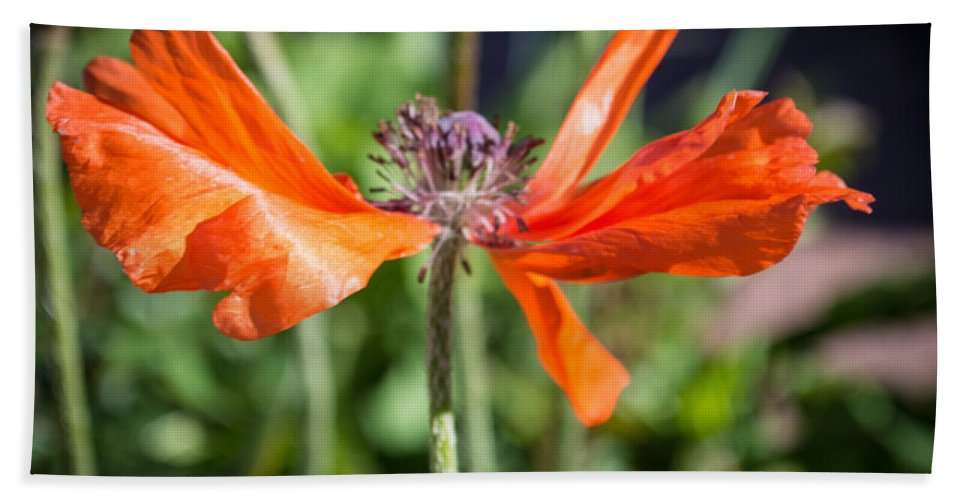 Flowers Hand Towel featuring the photograph Spent Poppy by Debra Powell