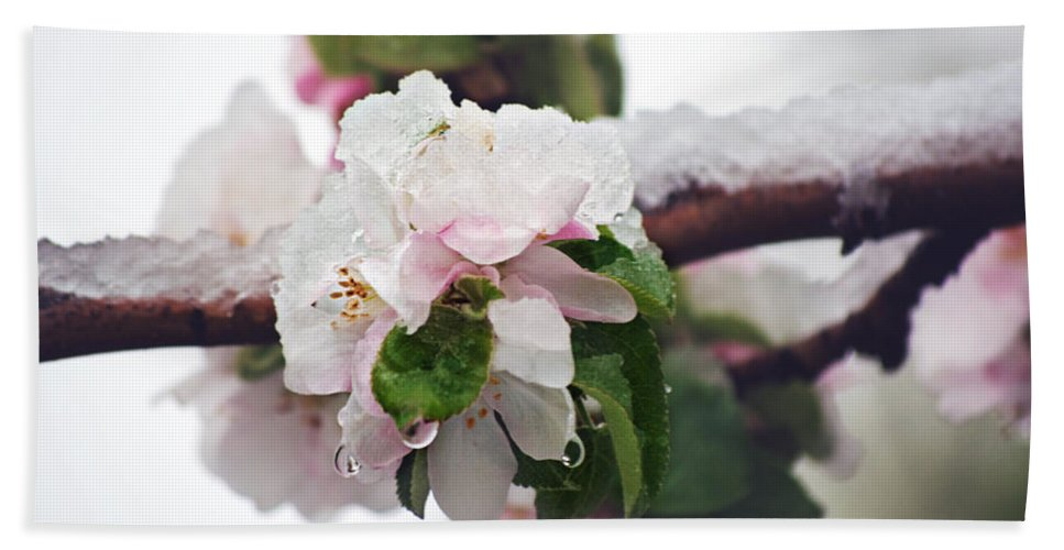 Apple Blossoms Bath Sheet featuring the photograph Spring Snow On Apple Blossoms by Lisa Knechtel