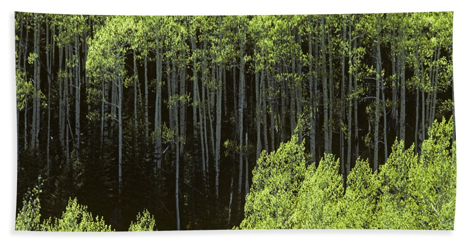 Nature Hand Towel featuring the photograph Stand Of Birch Trees New Growth Spring Rich Green Leaves by Jim Corwin