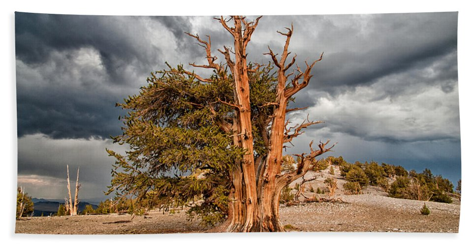 Tree Sky Cloudy Storm Summer Scenic Landscape Nature eastern Sierra Mountains Ancient Forest California Bath Sheet featuring the photograph Standing Proud by Cat Connor